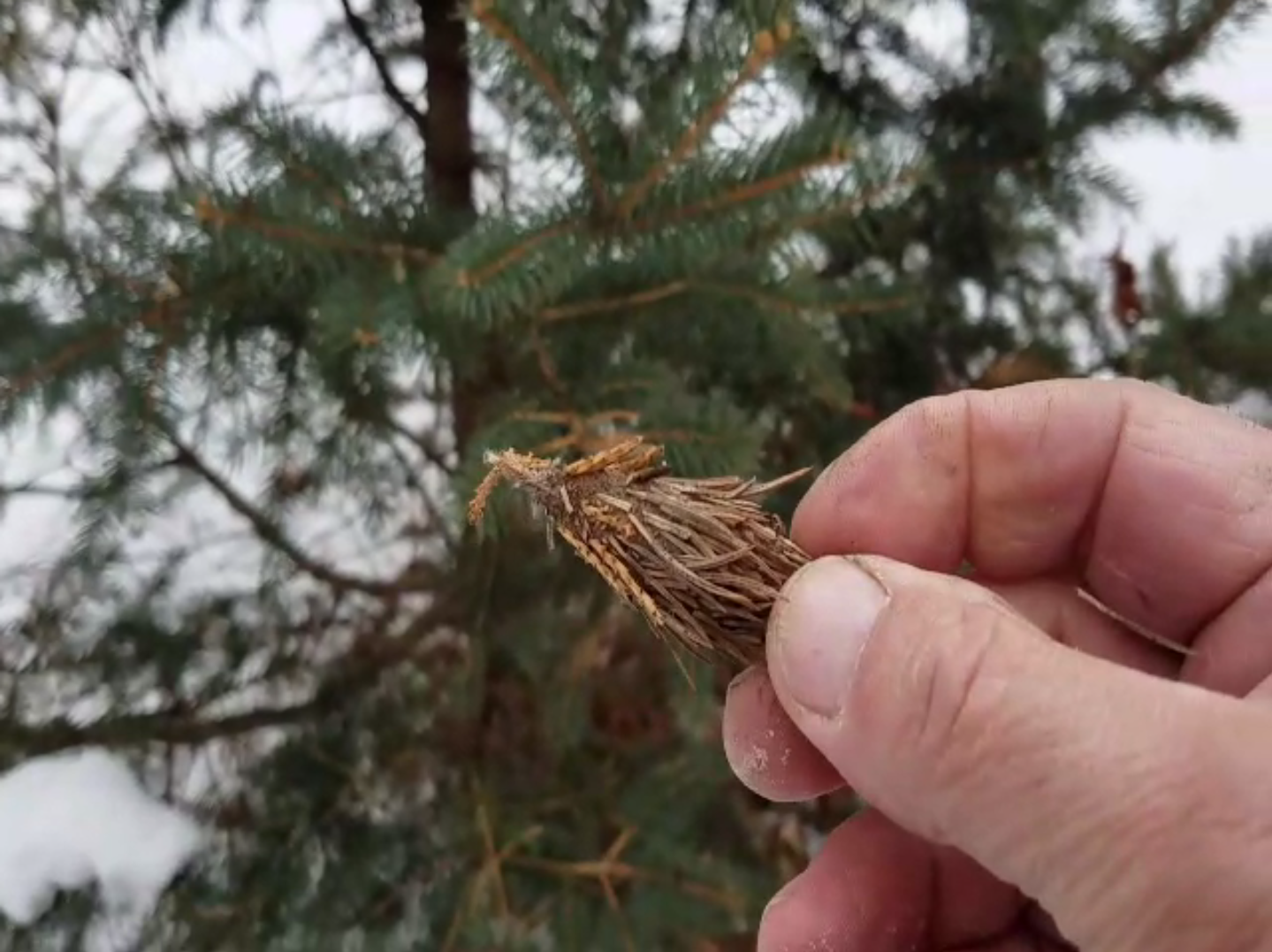 A Bagworm Egg Sac pulled off a  Young Spruce Tree.