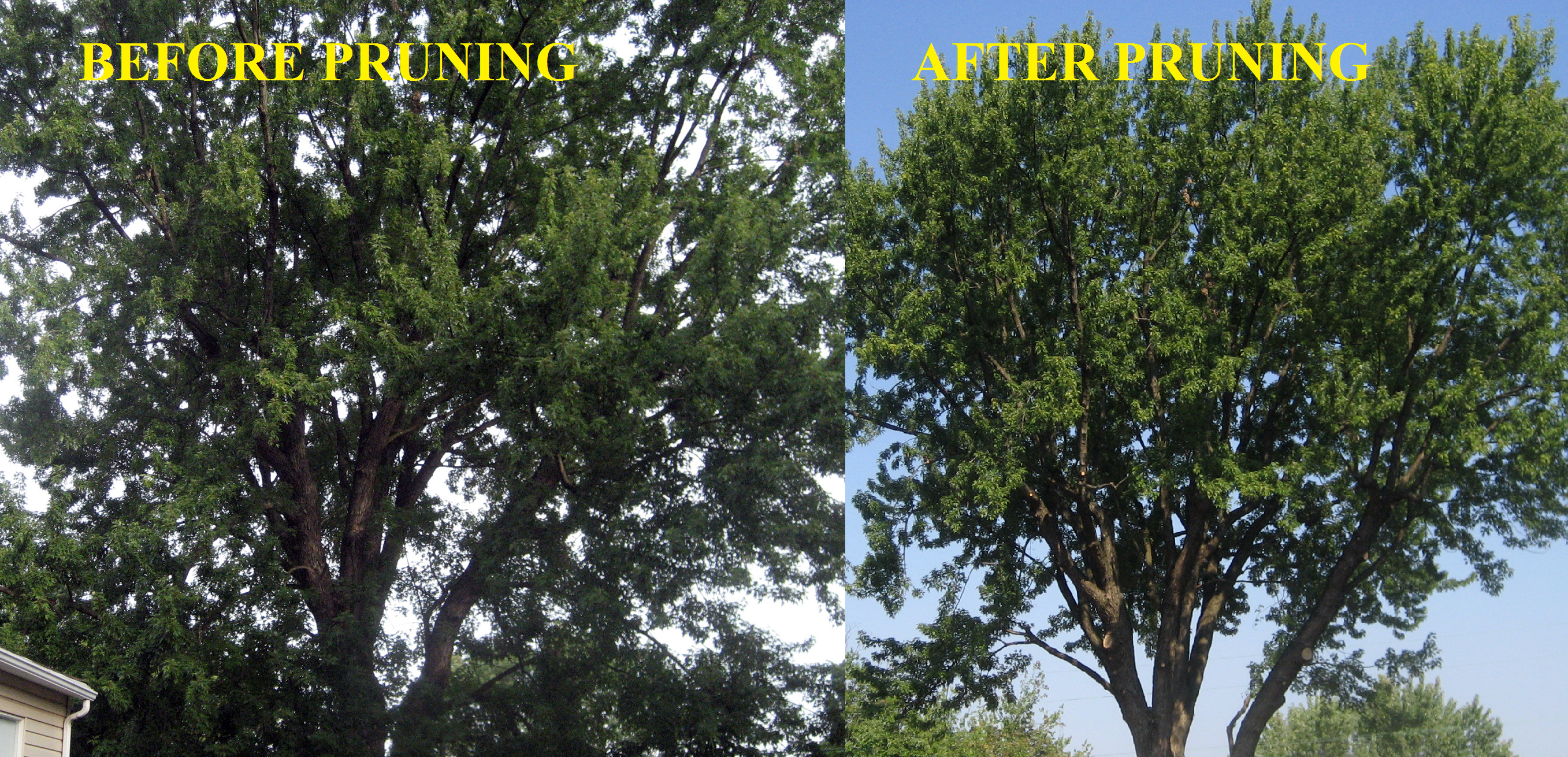This before and after picture shows how pruning can encourage the healthy growth of your trees.