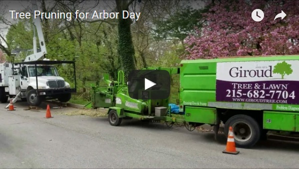 Tree pruning for safety, health and beauty was the Arbor Day gift for majestic Sycamore tree