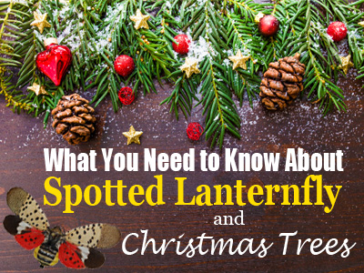 What You Need To Know About Spotted Lanternfly and Christmas Trees-Hubspot Header