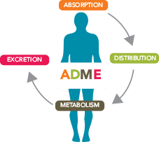 ADME of therapeutic proteins