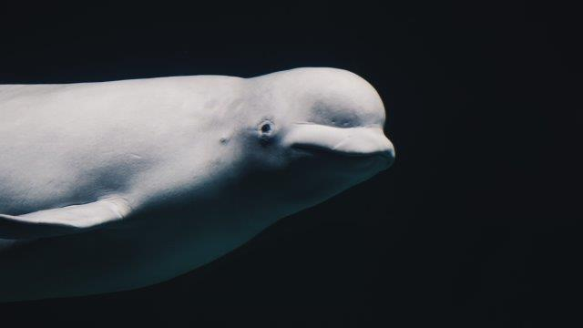 beluga whale watching quebec east coast canada
