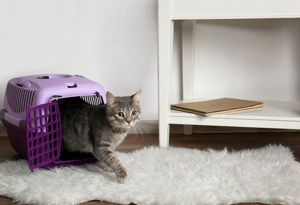 cat gets out of the carrier