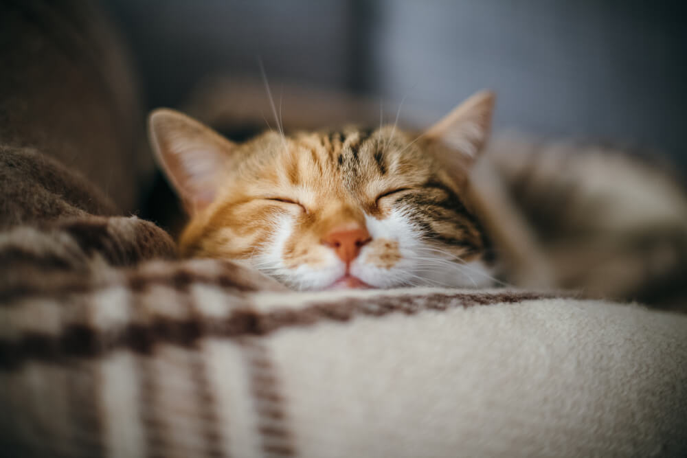 relaxed cat sleeps on a warm blanket