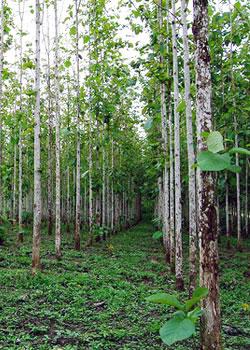 Teak trees in a line