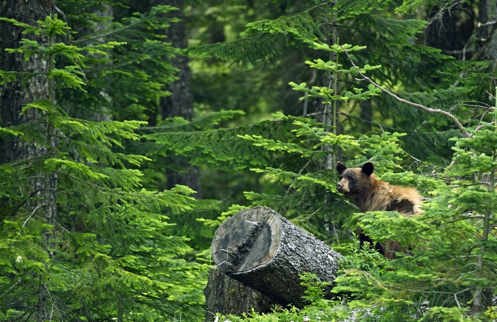 grizzly bear in the wilderness of the forest in Canada in Clayoquot