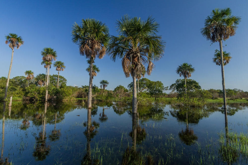 palm trees in the water of Los Llanos in Colombia