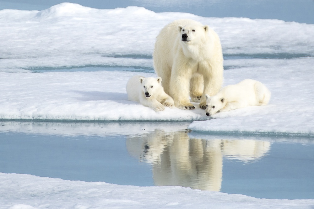 family of polar bears on the snow in Svalbard Norway