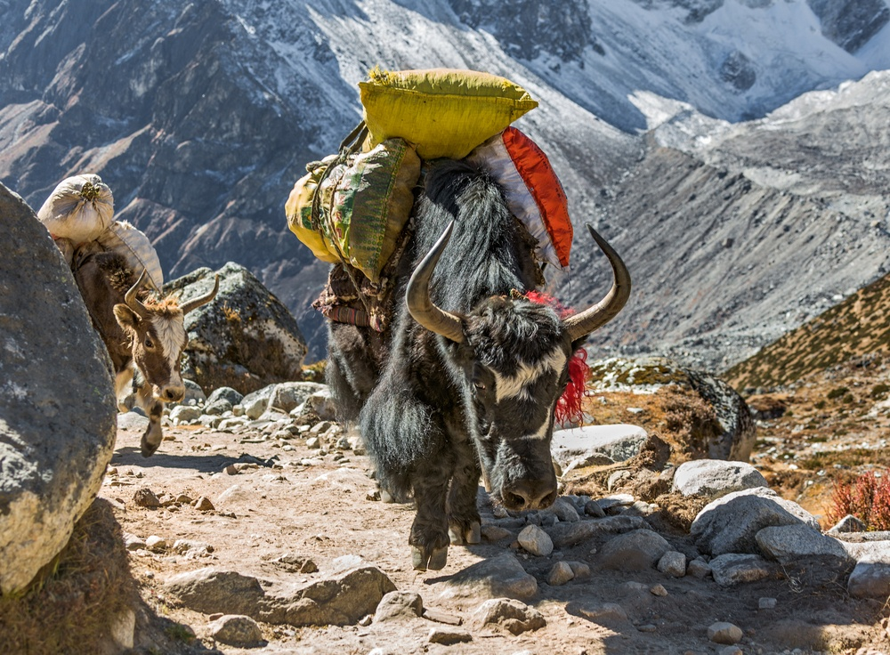 mules in Nepal making their way up the mountain