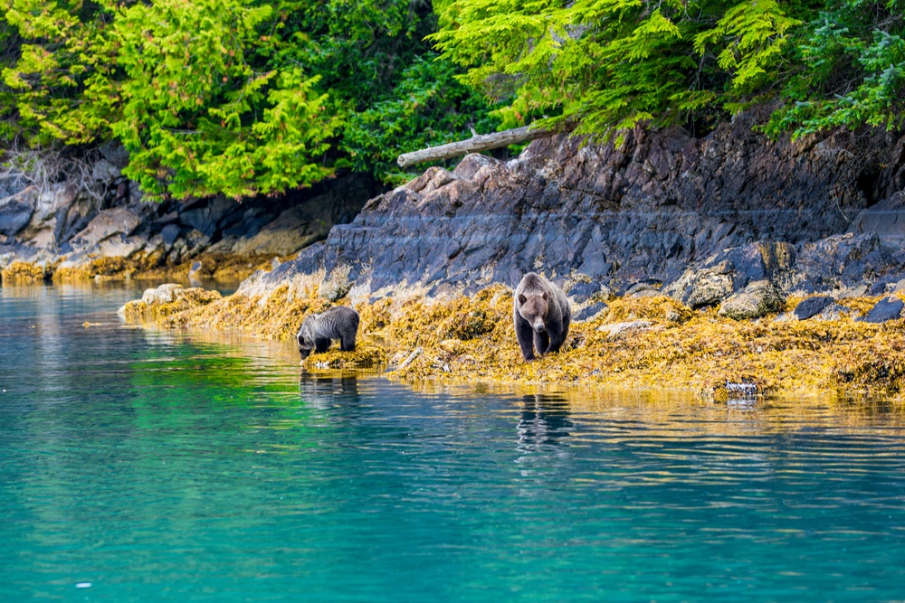 black bears hunting by lake in the Mackenzie Sound in Canada
