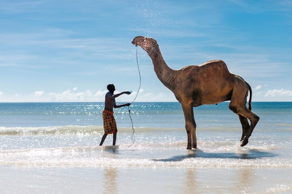 camel on the ocean enjoying the water in Mombasa, Kenya