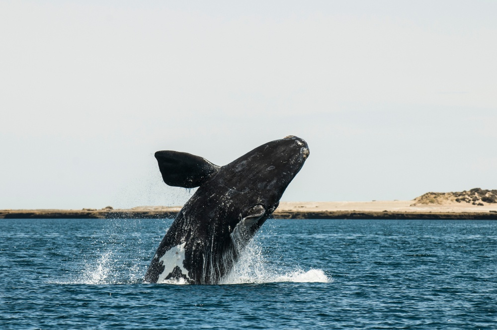 whale watching valdes patagonia argentina