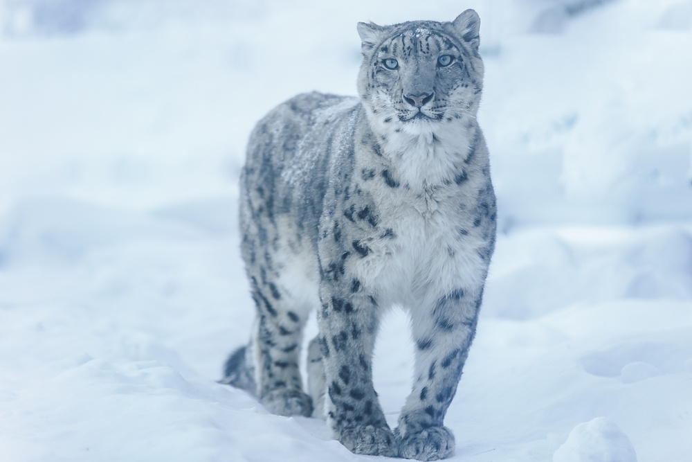 snow leopard wildlife hemis india