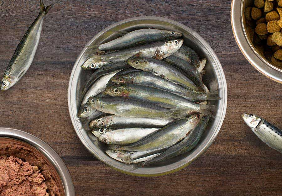 Can Dogs Eat Sardines? 5 Benefits of