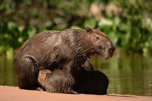 Capybaras in Brazil's Pantanal