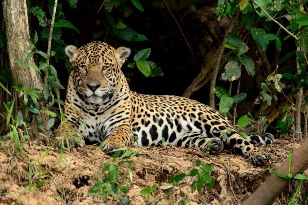 The elusive jaguar basking along the river's edge in Brazil's Pantanal