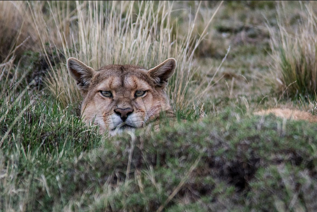 Ossian_Photography_Best_Lens-puma.png