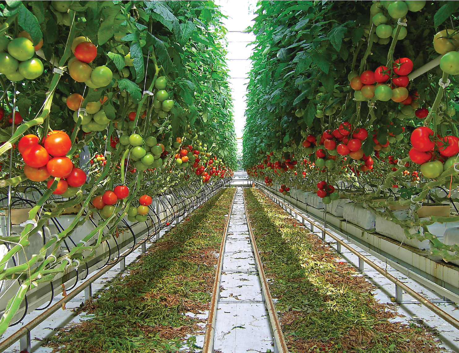 Predicting quality of tomato seedlings