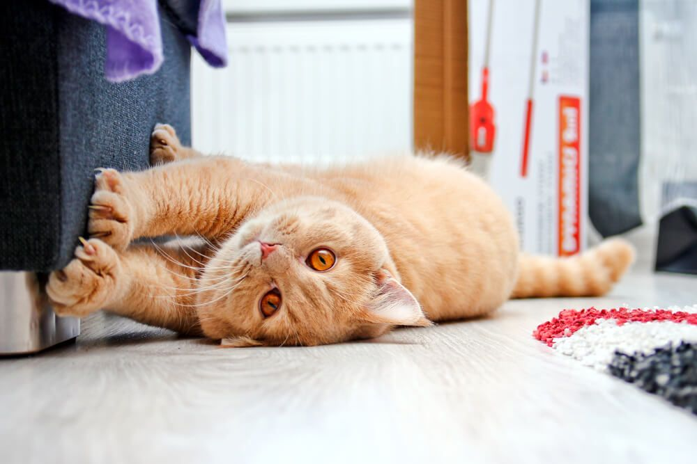 Why Do Cats Scratch 3 Reasons And How To Stop It