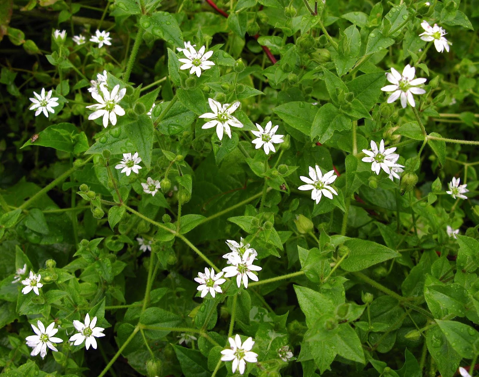 Weed Of The Week Common Chickweed
