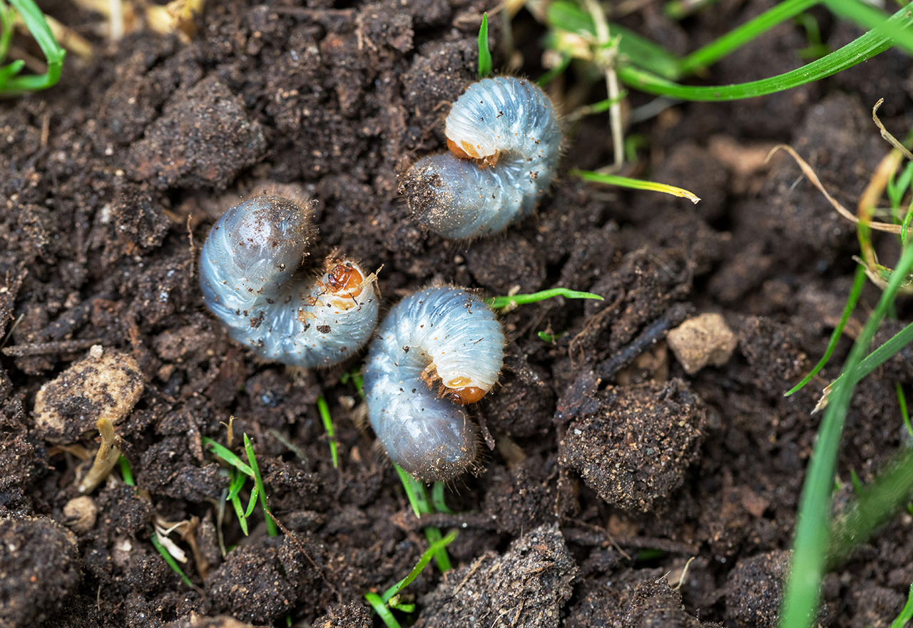How To Control Grubs Without Chemicals