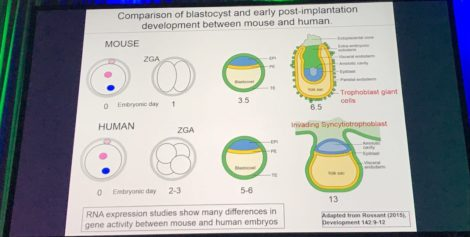 comparison of human blastocyst with mouse blastocyst presented in ESHRE2017