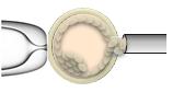 embryonic blastocyst biopsy