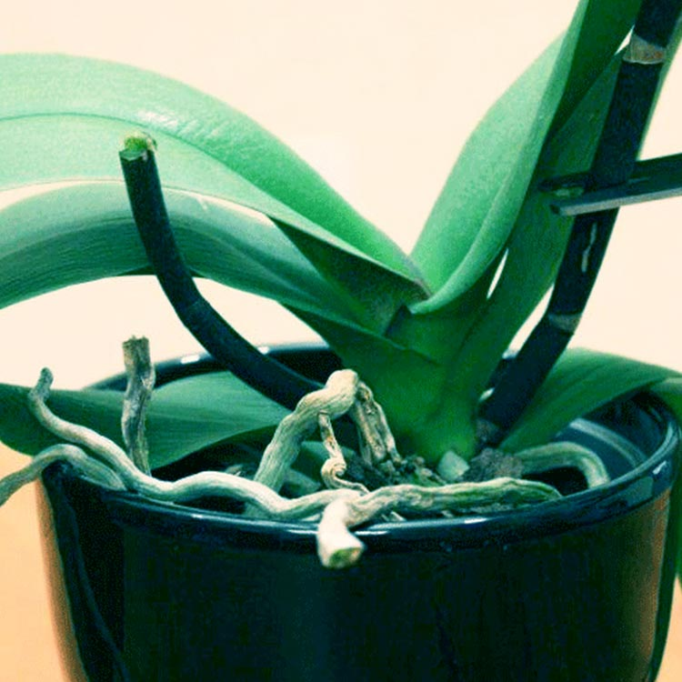 How To Trigger Reblooming Of Your Orchid
