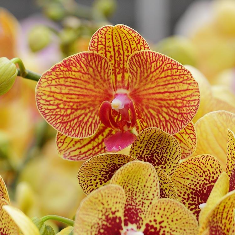 Phalaenopsis Orchid Moth