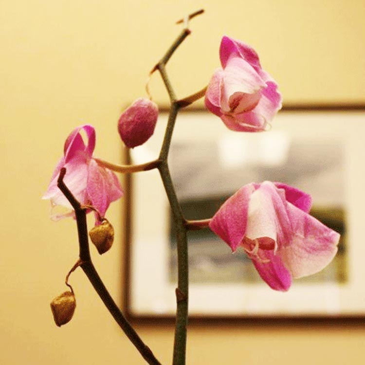 What To Do When Orchid Blooms Wilt And Fall