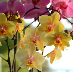 phalaenopsis orchid care blog just add ice orchids. Black Bedroom Furniture Sets. Home Design Ideas