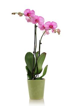 everything you need to know about orchid care. Black Bedroom Furniture Sets. Home Design Ideas