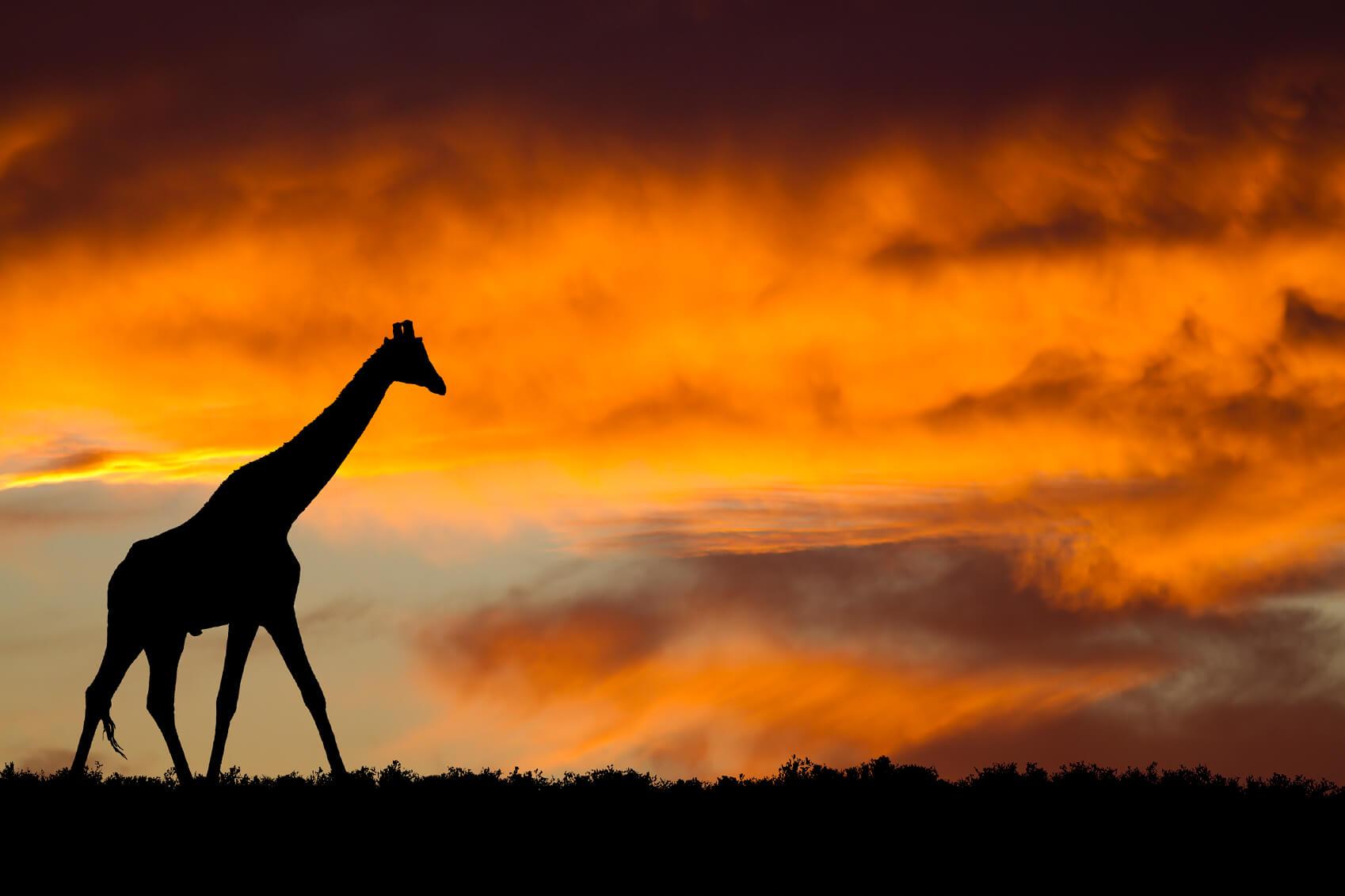south africa giraffe-1