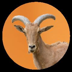 Goat-office-pet.png
