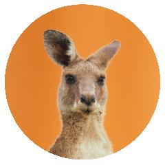 Kangaroo-office-pet.png
