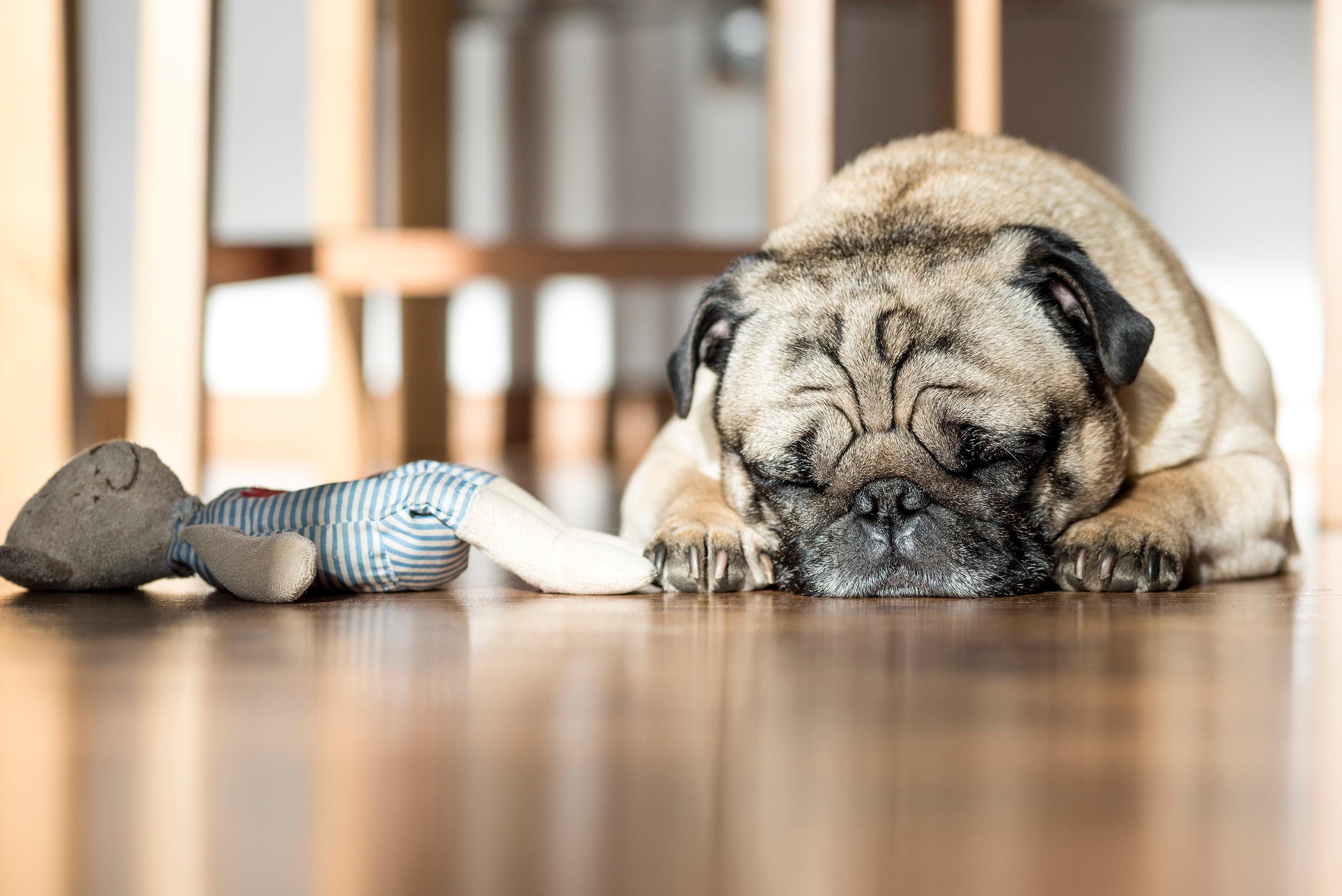 Sleeping pug.