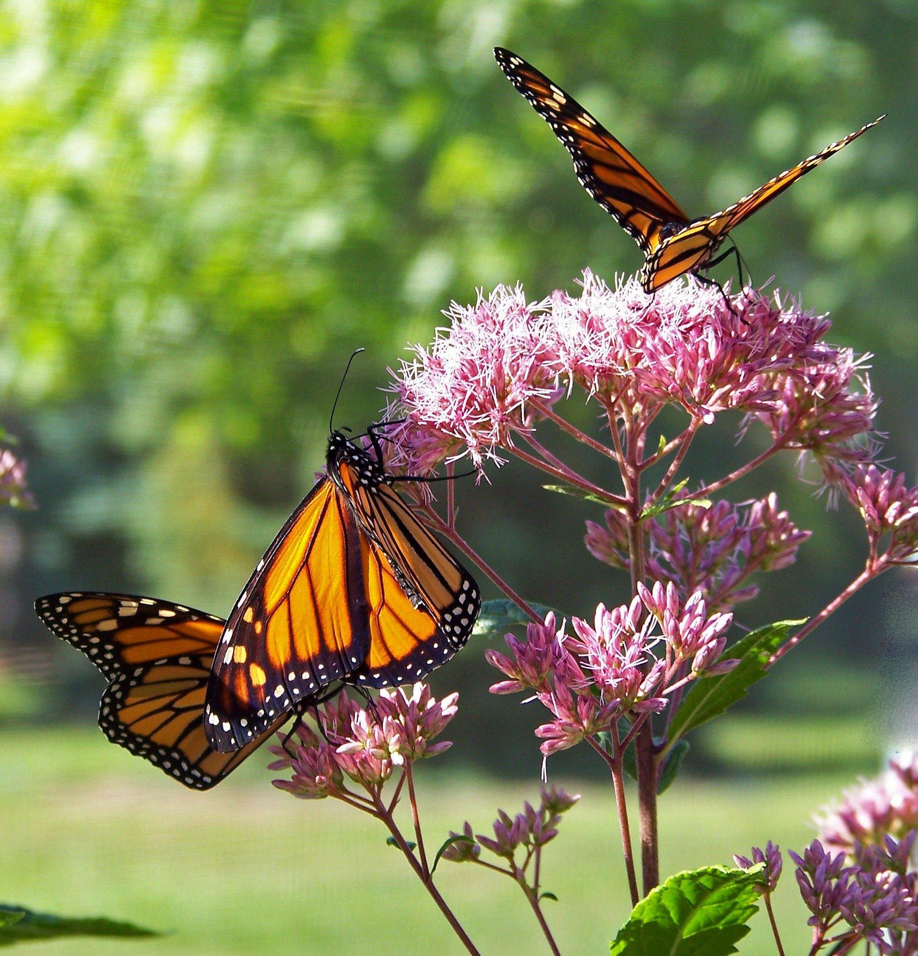 butterfly-18355_1920