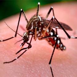 http://cdn2.hubspot.net/hubfs/581508/Aedes_aegypti_250x250.jpg