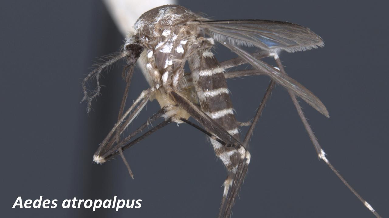 Aedes_atropalpus.png