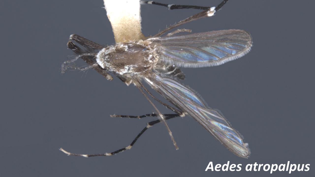 Aedes_atropalpustop.png
