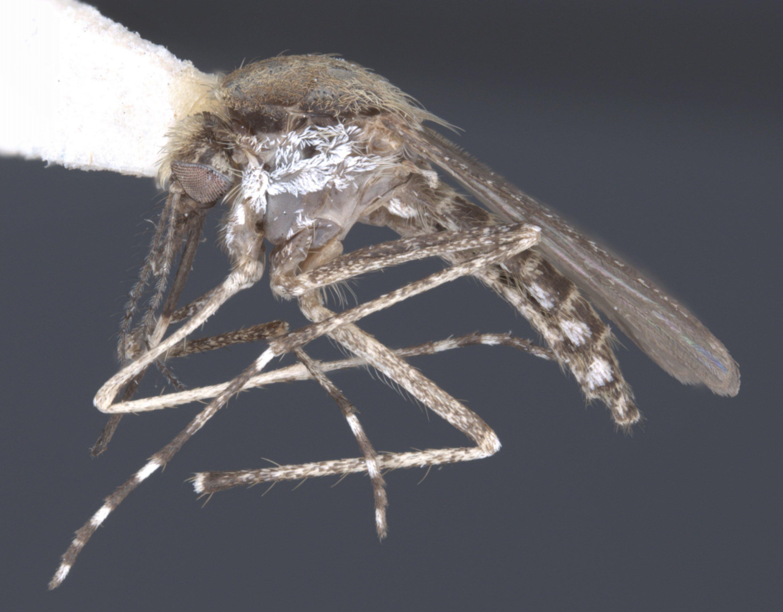 Aedes_sollicitans_Eastern_Saltmarsh_Mosquito.jpg