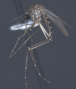 Aedes_vexans_inland_floodwater_Mosquito_250.jpg