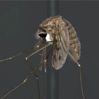 http://cdn2.hubspot.net/hubfs/581508/Anopheles_quadrimaculatus_p_web.jpg