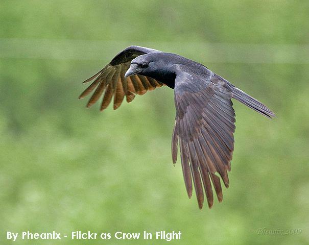 Crow_in_Flight.png
