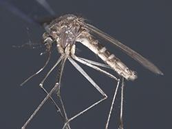 Culex_tarsalis_p_2Western_Encephalitis_Mosquito_250.jpg