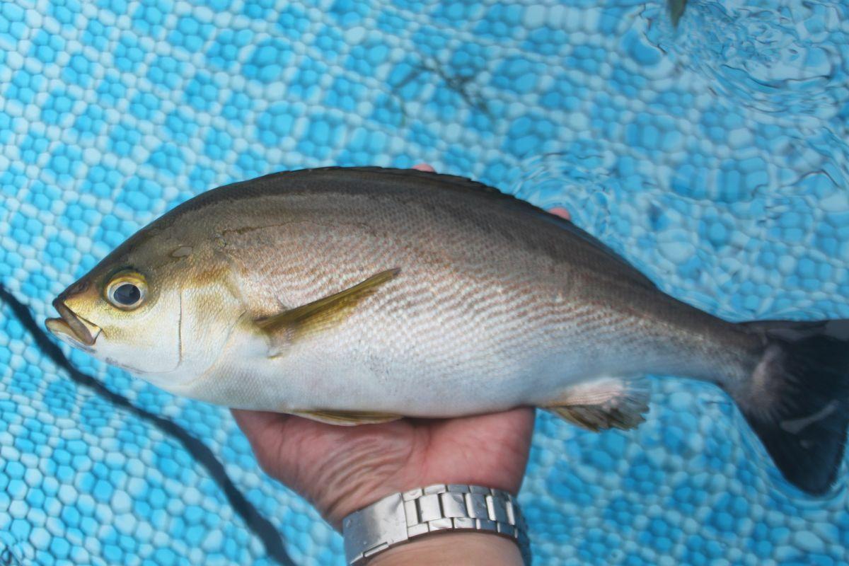 【海上釣り堀入門】釣れる魚:イサキ