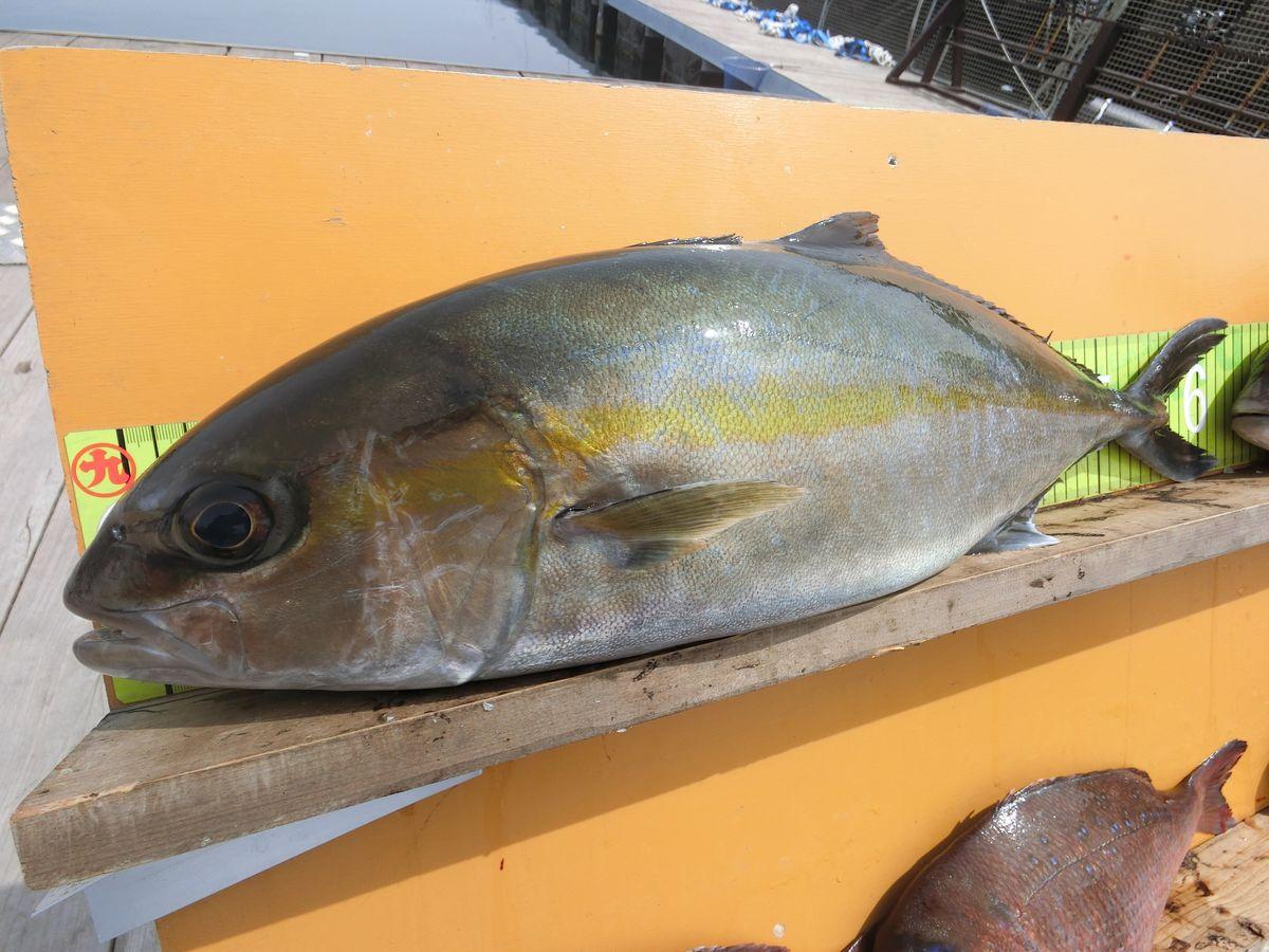 【海上釣り堀入門】釣れる魚:カンパチ