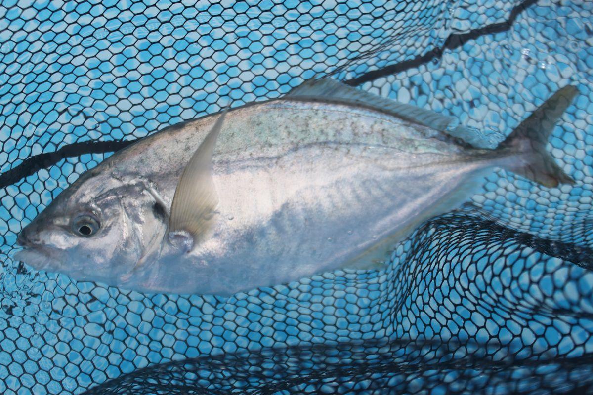 【海上釣り堀入門】釣れる魚:シマアジ