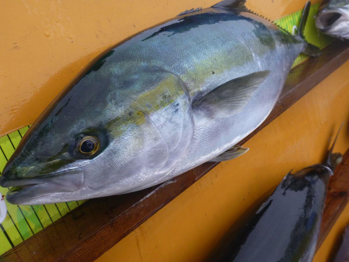 【海上釣り堀入門】釣れる魚:ブリ