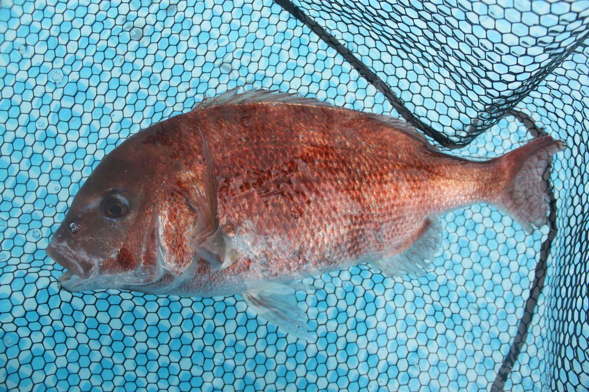 【海上釣り堀入門】釣れる魚:マダイ